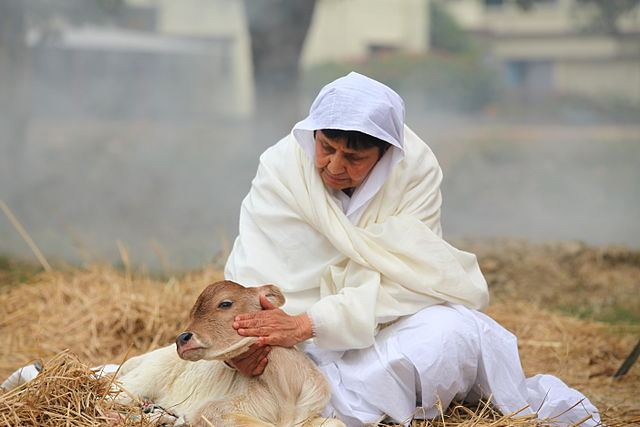 Woman petting a calf.