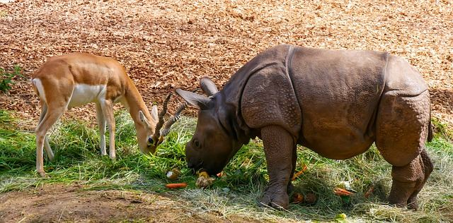 Antilope ad young Rhino sharing food