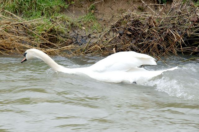 Swan swimming upstream